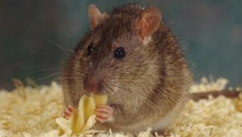 Chuột biết hối tiếc vì đã bỏ qua thức ăn ngon. Ảnh: BBC